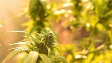 cannabis malawi