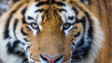 coronavirus tiger