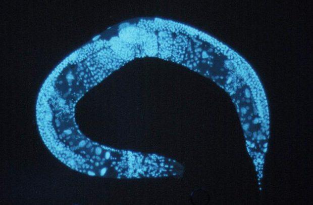 Researchers discover unique self-destructive process in aging nematode worms 1