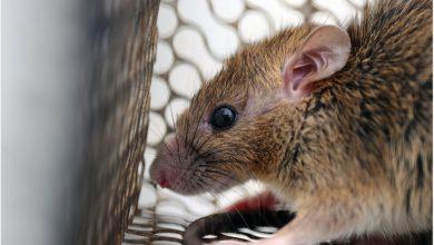 Study reveals the zoonotic potential of the rat Sialodacryoadenitis virus 4
