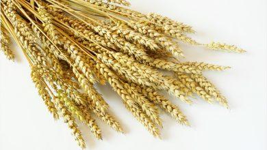Antiviral activity of Wheat Germ Agglutinin against SARS-CoV-2 3